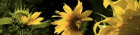 """Sunflowers by Panoramic Images - 27"""" x 8"""""""