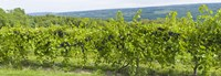 """Grapevines in a vineyard, Finger Lakes, New York State, USA by Panoramic Images - 27"""" x 9"""""""