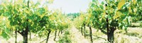 """Close up of Vines, Napa Valley, California by Panoramic Images - 27"""" x 9"""""""