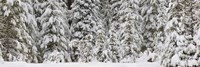 """Snow covered pine trees, Deschutes National Forest, Oregon, USA by Panoramic Images - 27"""" x 9"""""""