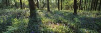 Bluebells growing in a forest, Exe Valley, Devon, England Fine Art Print