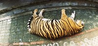 "Tiger (Panthera tigris) sleeping in a tiger reserve, Tiger Kingdom, Chiang Mai, Thailand by Panoramic Images - 27"" x 9"""