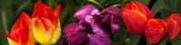 """Close-up of tulip flowers by Panoramic Images - 33"""" x 8"""""""