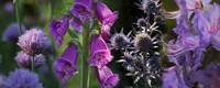 """Close-up of purple flowers by Panoramic Images - 33"""" x 8"""""""