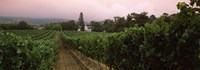 """Vineyard with a Cape Dutch style house, Vergelegen, Capetown near Somerset West, Western Cape Province, South Africa by Panoramic Images - 27"""" x 9"""""""