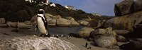 """Colony of Jackass penguins on the beach, Boulder Beach, Cape Town, Western Cape Province, Republic of South Africa by Panoramic Images - 27"""" x 9"""""""