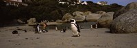 """Colony of Jackass penguins with tourists, Boulder Beach, False Bay, Cape Town, Western Cape Province, Republic of South Africa by Panoramic Images - 27"""" x 9"""""""