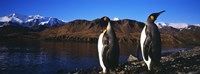 """Two King penguins on shore of Cumberland Bay East, King Edward Point, Cumberland Bay, South Georgia Island by Panoramic Images - 27"""" x 9"""", FulcrumGallery.com brand"""