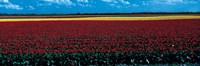 Tulip field near Spalding Lincolnshire England Fine Art Print