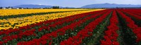 "Tulip Field, Mount Vernon, Washington State, USA by Panoramic Images - 36"" x 12"""