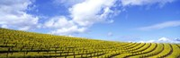"Mustard Fields, Napa Valley, California, USA by Panoramic Images - 36"" x 12"""