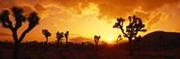 "Sunset, Joshua Tree Park, California by Panoramic Images - 36"" x 12"""
