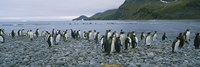 Colony of King Penguins, South Georgia Island, Antarctica by Panoramic Images - various sizes