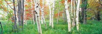 Birch trees in a forest, Acadia National Park, Maine Fine Art Print