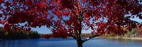"""Close-up of a tree, Walden Pond, Concord, Massachusetts, USA by Panoramic Images - 36"""" x 12"""""""