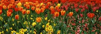 Tulips in a field, St. James's Park, City Of Westminster, London, England Fine Art Print