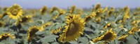 """USA, California, Central Valley, Field of sunflowers by Panoramic Images - 36"""" x 12"""" - $34.99"""