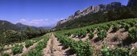 """France, Provence, Dentelles de Montmiral, Vineyard on the mountain by Panoramic Images - 36"""" x 12"""""""