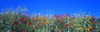 """Poppy field Tableland N Germany by Panoramic Images - 36"""" x 12"""""""