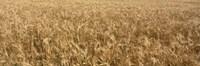 Wheat crop in a field, Otter Tail County, Minnesota, USA Fine Art Print