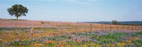 """Texas Bluebonnets And Indian Paintbrushes In A Field, Texas Hill Country, Texas, USA by Panoramic Images - 36"""" x 12"""""""