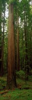 Giant Redwood Trees Ave of the Giants Redwood National Park Northern CA Framed Print