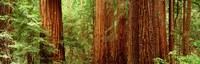 """Redwoods Muir Woods CA USA by Panoramic Images - 36"""" x 12"""""""