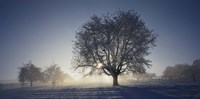 """Cherry Tree in Snow, Aargau, Switzerland by Panoramic Images - 36"""" x 12"""""""