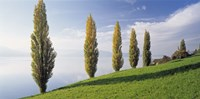 """Switzerland, Lake Zug, Row of Populus Trees near a lake by Panoramic Images - 36"""" x 12"""""""