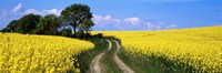"""Canola, Farm, Yellow Flowers, Germany by Panoramic Images - 36"""" x 12"""""""