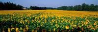 Sunflowers St Remy de Provence Provence France Fine Art Print