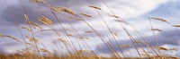 """Wheat Stalks Blowing, Crops, Field, Open Space by Panoramic Images - 36"""" x 12"""""""