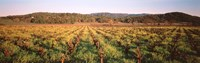 """Vineyard in Hopland, California by Panoramic Images - 36"""" x 12"""""""