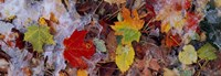 """Frost on leaves, Vermont, USA by Panoramic Images - 36"""" x 12"""""""