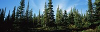 """Banff Pine Trees, Alberta, Canada by Panoramic Images - 36"""" x 12"""""""