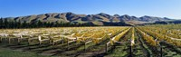 """Vineyards N Canterbury New Zealand by Panoramic Images - 36"""" x 12"""" - $34.99"""