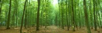 """Pathway Through Forest, Mastatten, Germany by Panoramic Images - 36"""" x 12"""""""