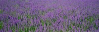 """Field Of Lavender, Hokkaido, Japan by Panoramic Images - 36"""" x 12"""""""