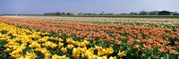 """Field Of Flowers, Egmond, Netherlands by Panoramic Images - 36"""" x 12"""" - $34.99"""
