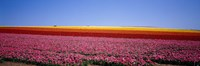 "Field Of Flowers, Near Encinitas, California, USA by Panoramic Images - 36"" x 12"""