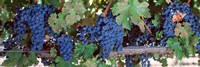 USA, California, Napa Valley, grapes Fine Art Print
