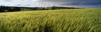 """Barley Field, Wales, United Kingdom by Panoramic Images - 36"""" x 12"""""""