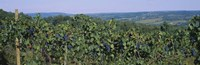 "Bunch of grapes in a vineyard, Finger Lakes region, New York State, USA by Panoramic Images - 36"" x 12"""