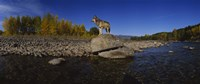 """Wolf standing on a rock at the riverbank, US Glacier National Park, Montana, USA by Panoramic Images - 36"""" x 12"""""""