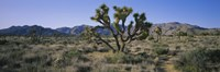 """Joshua trees on a landscape, Joshua Tree National Monument, California, USA by Panoramic Images - 36"""" x 12"""""""
