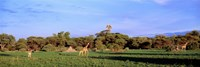 Giraffes in a field, Moremi Wildlife Reserve, Botswana, South Africa Fine Art Print