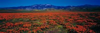 """Field, Poppy Flowers, Antelope Valley, California, USA by Panoramic Images - 36"""" x 12"""""""