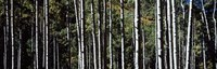 """White Aspen Tree Trunks CO USA by Panoramic Images - 36"""" x 12"""""""