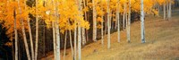 """Aspen trees in a field, Ouray County, Colorado, USA by Panoramic Images - 36"""" x 12"""""""