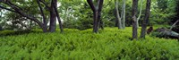 "Trees in a forest, North Carolina, USA by Panoramic Images - 36"" x 12"""